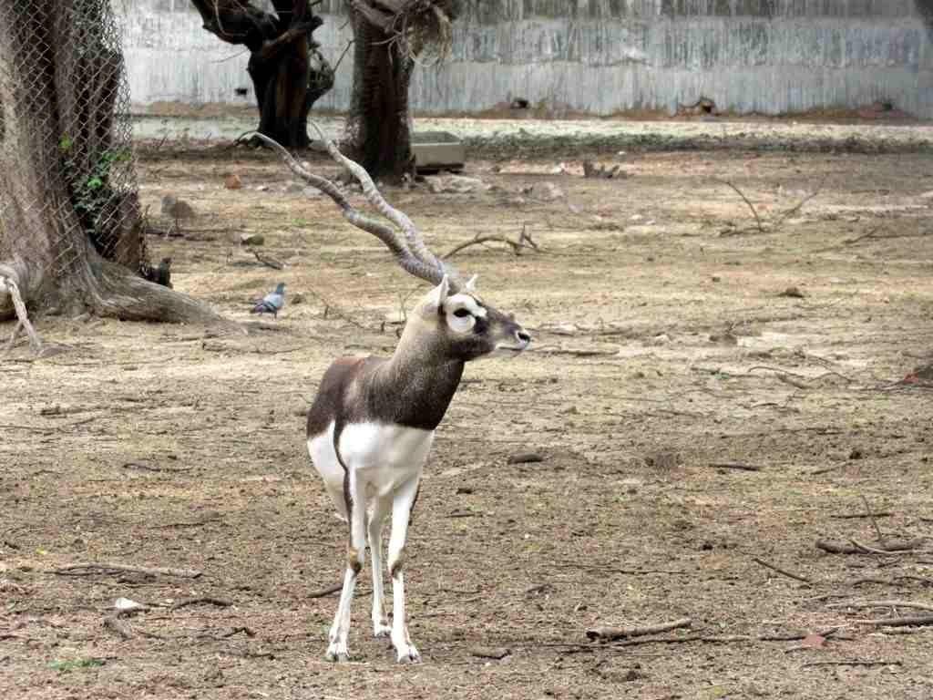 Black Buck in Delhi Zoo