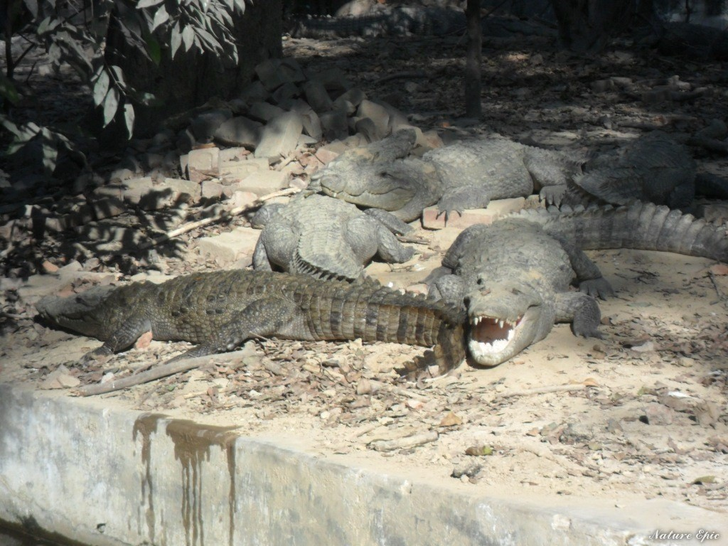 Crocodiles Taking Sun Bath in Allen Forest Zoo