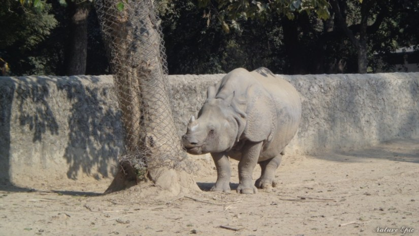 Rhinoceros in Kanpur Zoo