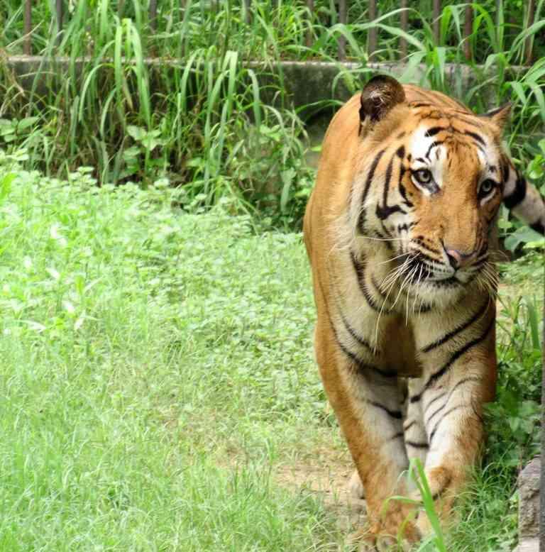 Royal Bengal Tiger in Delhi Zoo