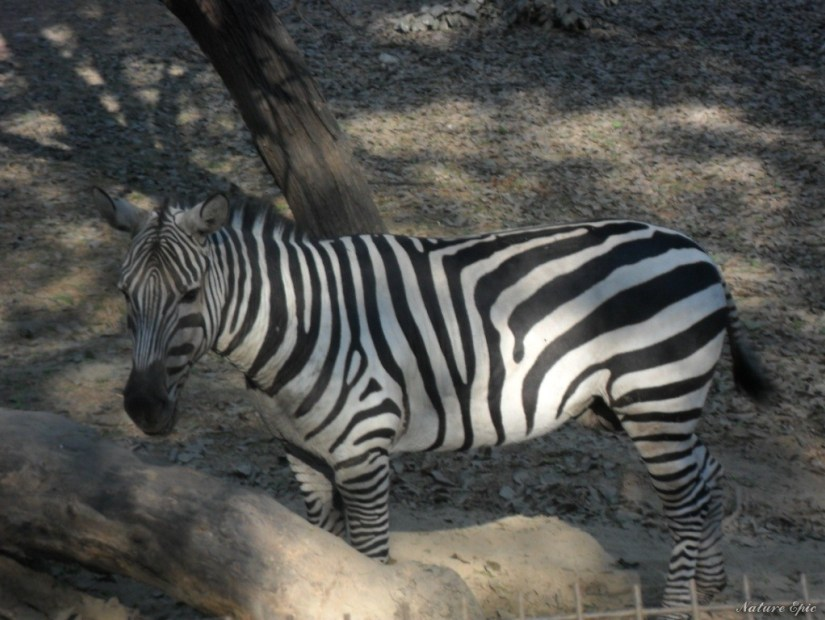 Zebra at Kanpur Zoo
