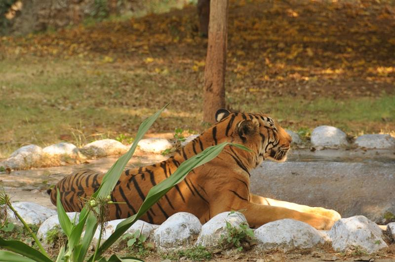 Royal Bengal Tiger at Gwalior Zoo