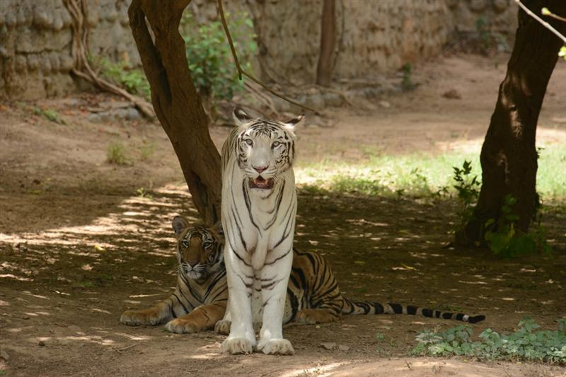 White Tiger at Gwalior Zoo