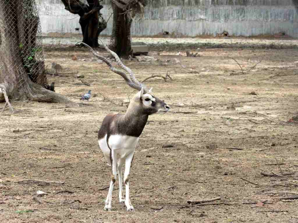 Black Buck inside the Chidiya Ghar