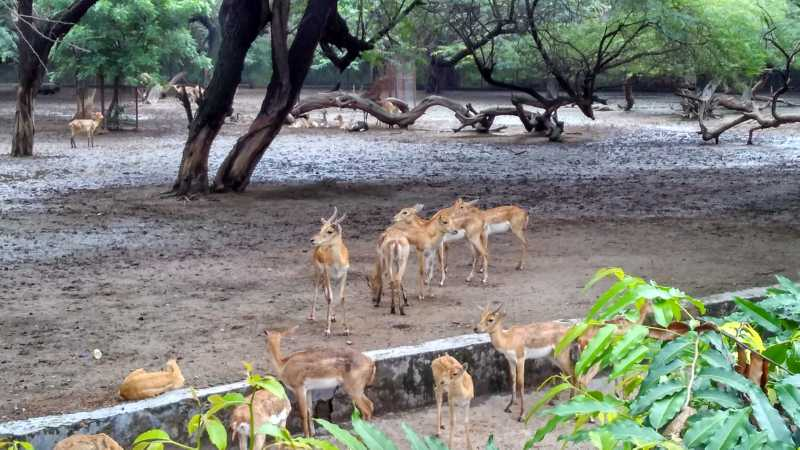 Deers in Groups inside Delhi Zoo