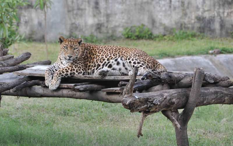 Leopard in Indore Zoo