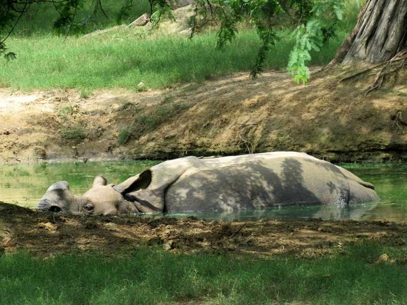 Rhinoceros in Water Pool