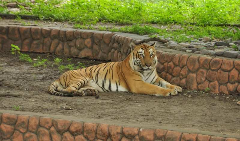 Royal Bengal Tiger at Indore Zoological Park