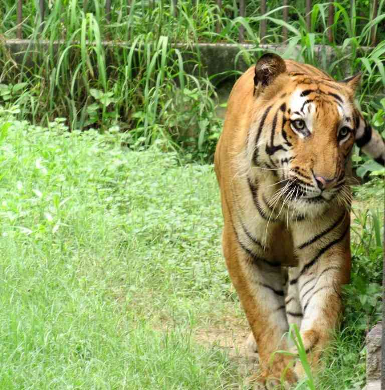 Royal Bengal Tiger Taking a Walk