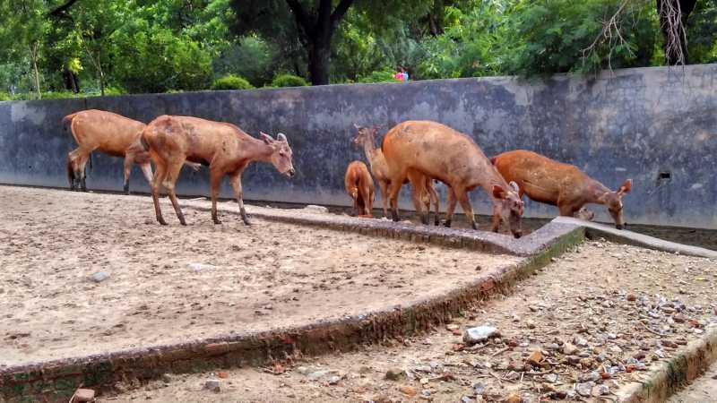 Sambar deer in Groups