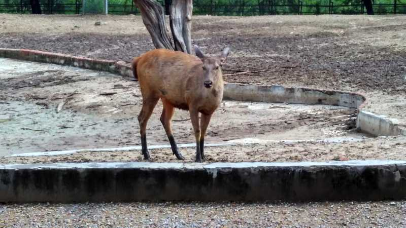 Sambar deer in Zoo