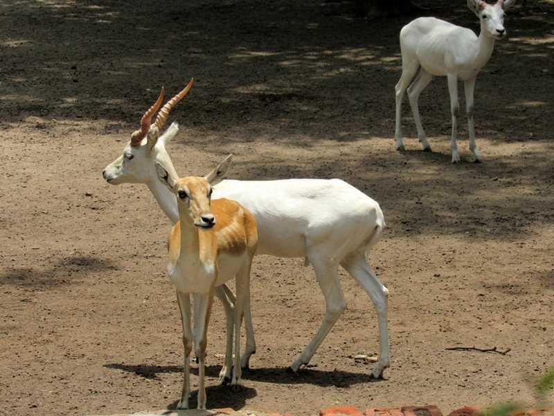 White Deer Delhi Zoo