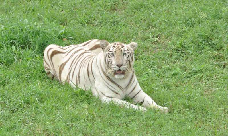 White Tiger Inside Kamla Nehru Prani Sangrhalaya (Indore Zoo)
