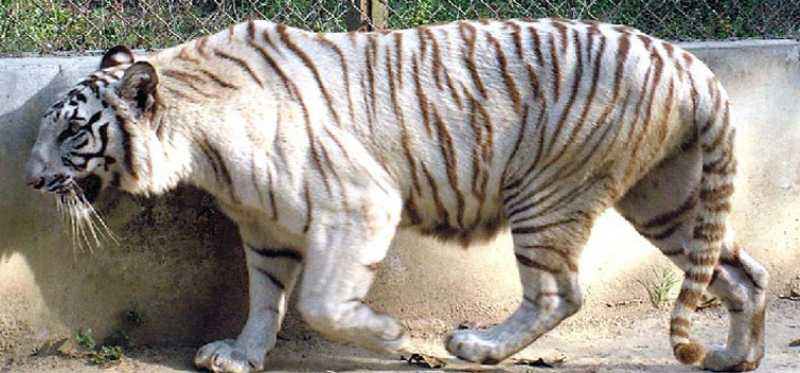 White Tiger Inside Lucknow Zoo