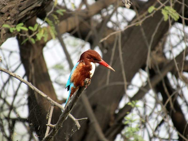 White Throated Kingfisher in Sultanpur Bird Sanctuary