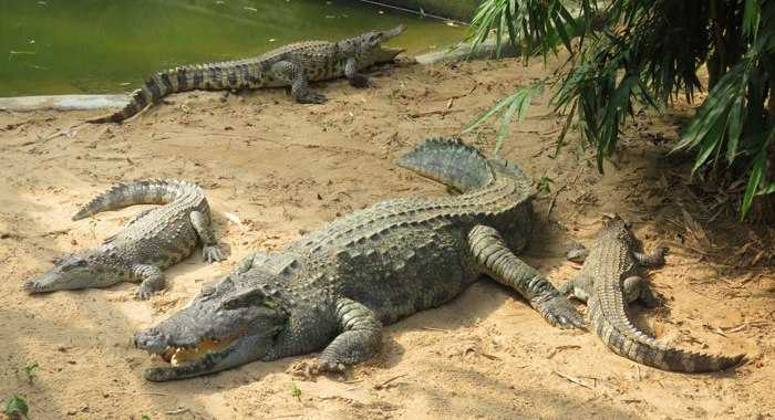 Crocodiles in Nandankanan Zoological Park