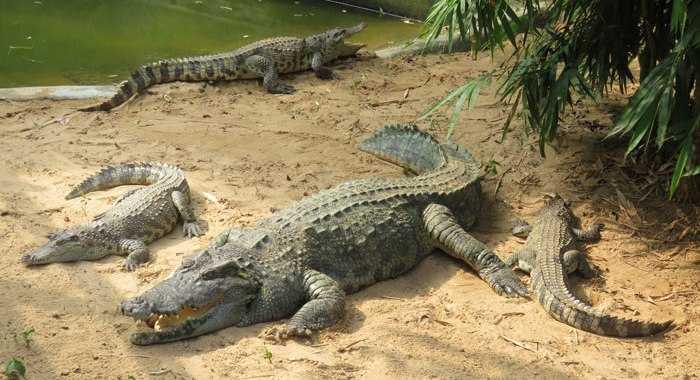 Crocodiles in Nandankanan Zoological Park