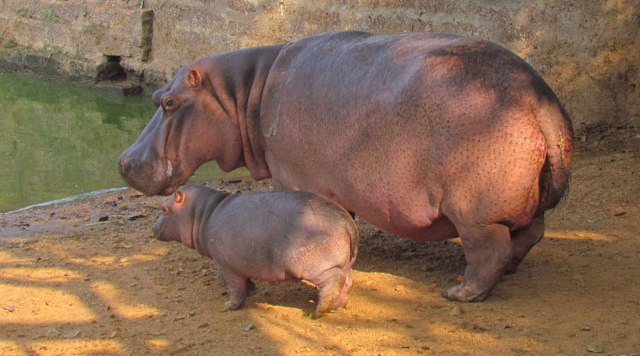 Hippo with kid Nandankanan Zoo