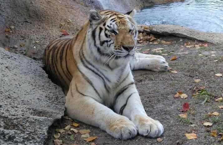 Tiger at Alabama Gulf Coast Zoo
