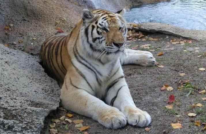 Tiger at Alabama Gulf Coast Zoo