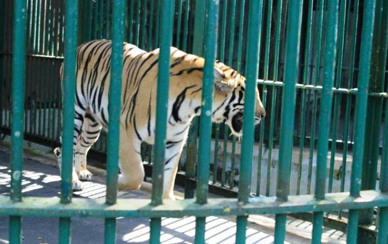 Tiger at Thiruvananthapuram Zoological Garden