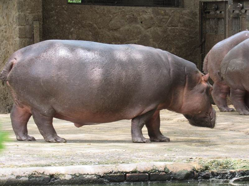 Hippo at Arignar Anna Zoological-Park at Vandalur Chennai