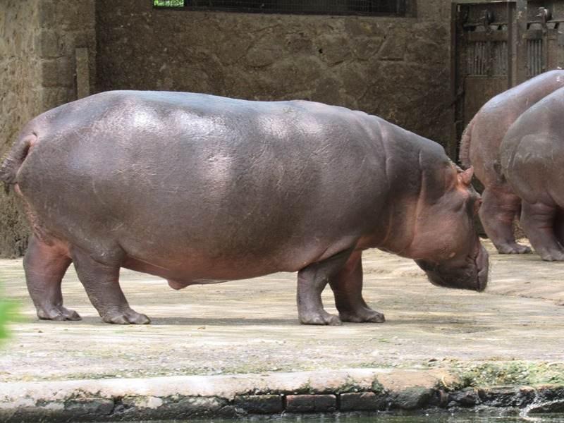 Hippo at Arignar Anna Zoological-Park at Vandalur Chennai