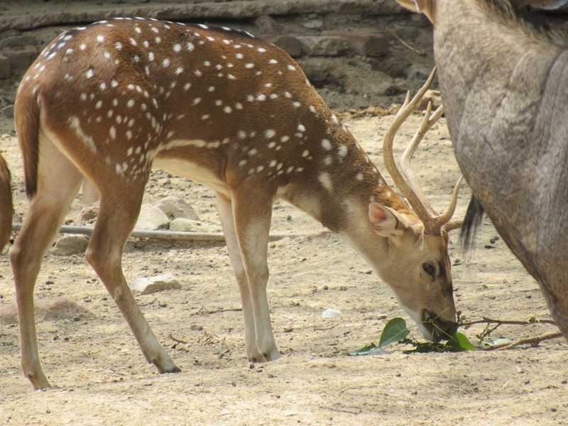 Deer in Patna Zoo