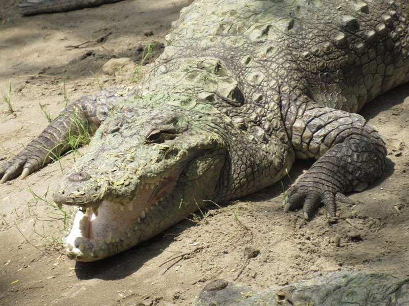 Crocodile at Chattbir Zoo, Chandigarh