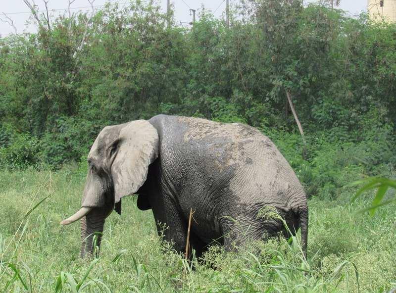 Elephant at Chhatbir Zoo