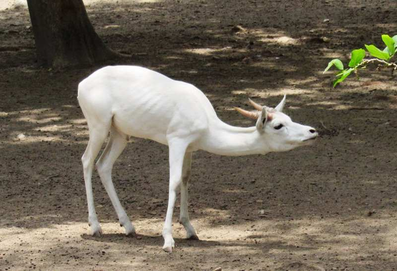 White buck at Chattbir Zoo, Chandigarh
