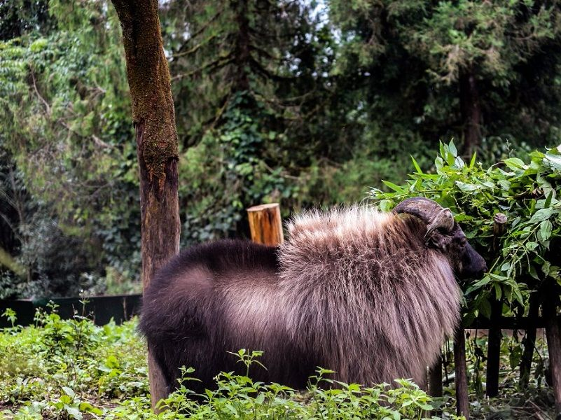Himalayan Tahr at Sikkim Himalayan Zoological Park Gangtok