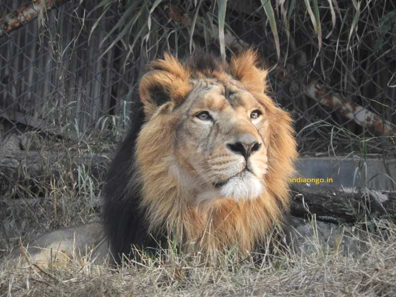 Lion at Sakkarbaug Zoological Garden (Junagadh Zoo)