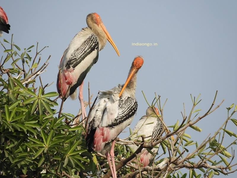 Painted Stork on Tree