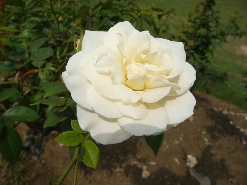Rose Garden Bathinda