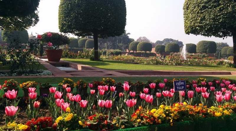 Tulips at full Bloom in Delhi Mughal Gardens
