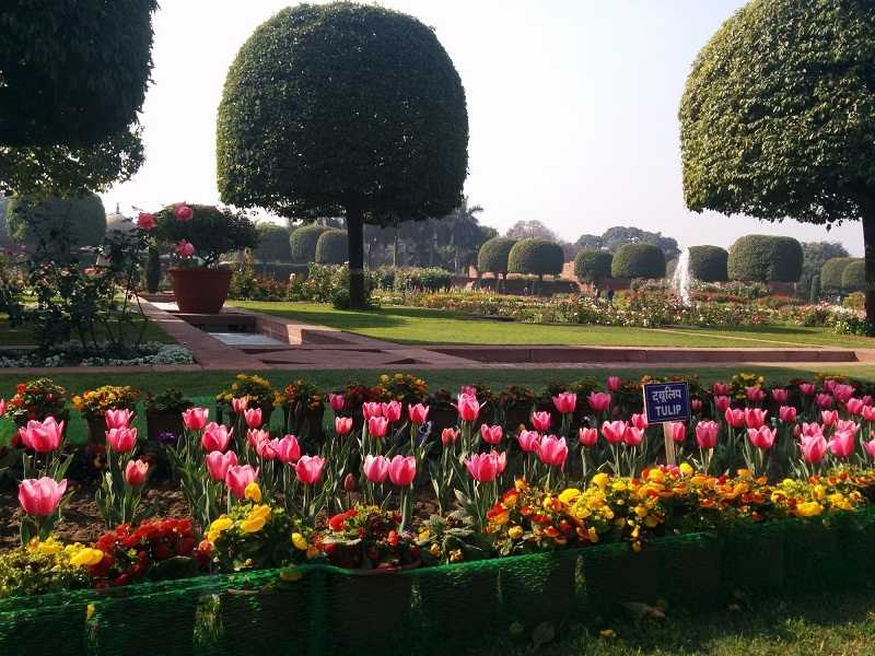 Tulips at full Bloom in Delhi Mughal Gardens